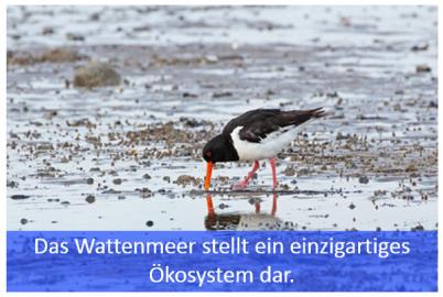 Austernfischer auf Futtersuche im Wattenmeer