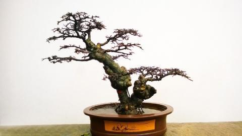 Bonsai in Schale