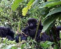 © Dian Fossey Gorilla Fund International. Junger Berggorilla..jpeg