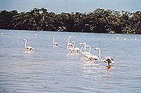 Flamingokolonie in Celestún (© Hotel Eco Paraiso).jpeg
