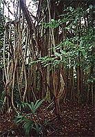 Mitten im Dschungel: Cobá (© L. Scheitzach).jpeg