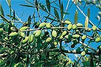 Ein Erlebnis: Olivenernte in Italien (© Dr. Gisela Benecke, Gütersloh).jpeg