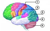 1 - somatorsensorisches Rindenfeld, 2 - Gleichgewichtssinn, 3 - Zentrum der Seherinnerung, 4 - Sehzentrum, 5 - Kleinhirn