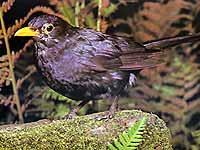 Die Amsel oder Schwarzdrossel ist eine der häufigsten Vögel Europas.