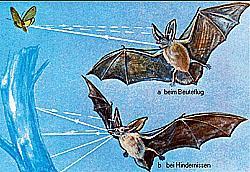 Echolotung (Schema) der Fledermäuse.jpeg