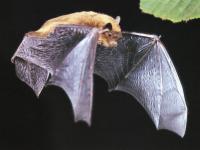 Zwergfledermaus (Pipistrellus pipistrellus).jpeg