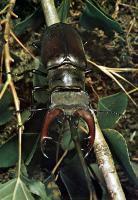 Der heimische Hirschkäfer (Männchen) steht heute unter Naturschutz, da er wegen des durch intensive Forstwirtschaft bedingten Rückganges alter Eichen und Eichenstubben sehr selten geworden ist.
