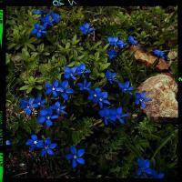 Der Enzian, Gentiana, gehört zu den geschützten Gebirgspflanzen.