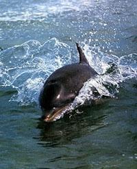 Als Säugetiere müssen Delfine Luft atmen