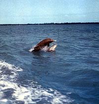 Junge Delfine sind bei der Geburt halb so lang wie ihre Mütter und können sofort schwimmen