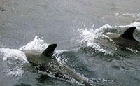 Delfine jagen gesellig