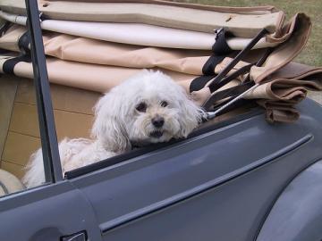 Hund in Cabrio