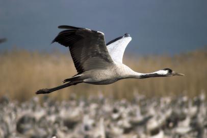 Grauer oder Eurasischer Kranich im Flug