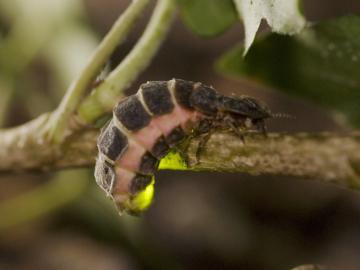 Weiblicher Leuchtkäfer (Lampyris noctiluca)