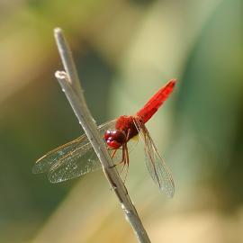 Feuerlibelle (Crocothemis erythraea)