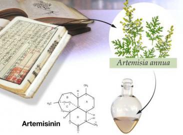 Info-Grafik zur Entdeckung des Malaria-Medikaments Artemisinin