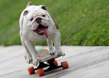 Die Bulldogge Otto skatete durch 30 Beinpaare hindurch