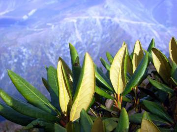 Kaukasischer Rhododendron