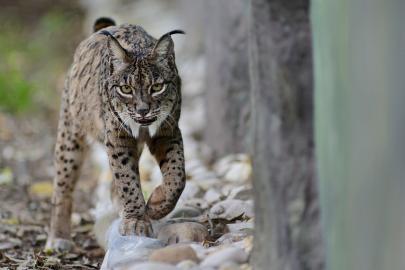 Pardelluchs (Lynx pardinus)