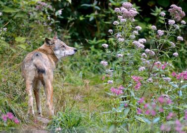 Einzelner Wolf (Canis lupus) in freier Natur