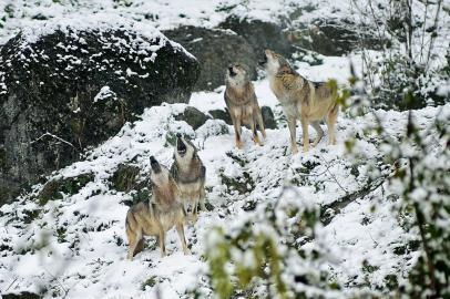 Heulende Wölfe in schneebeckter Landschaft