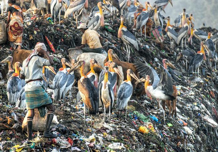 Marabus auf der Müllhalde