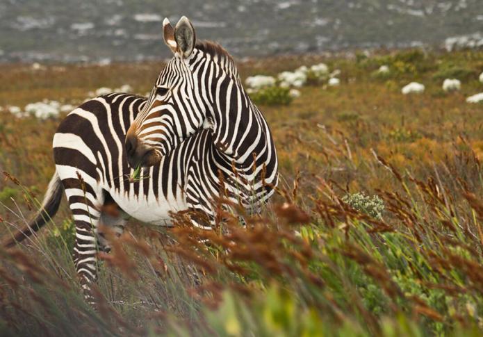 Grasendes Zebra