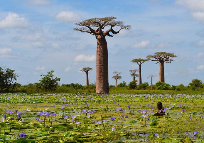 Baobabs und Wasserlilien