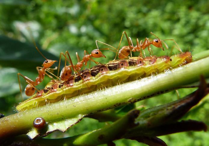 Raupe und Ameisen