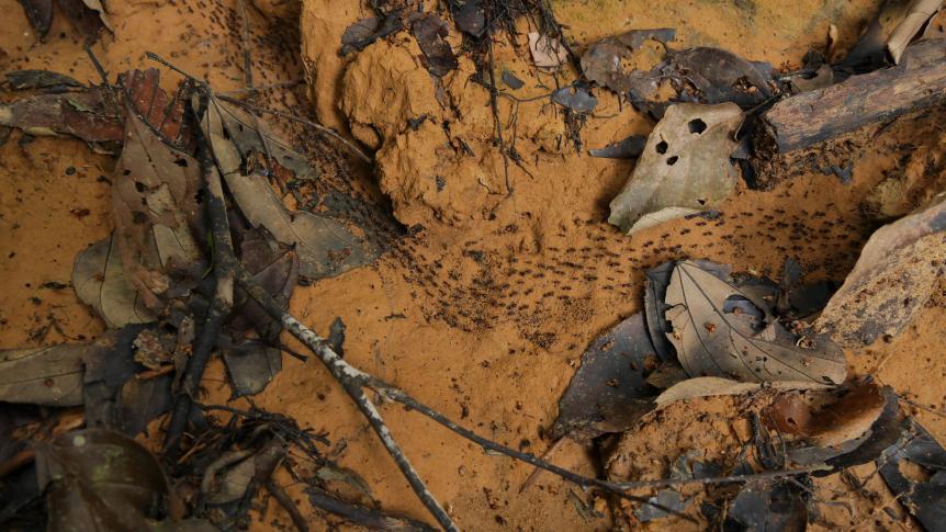 Termiten im tropischen Regenwald