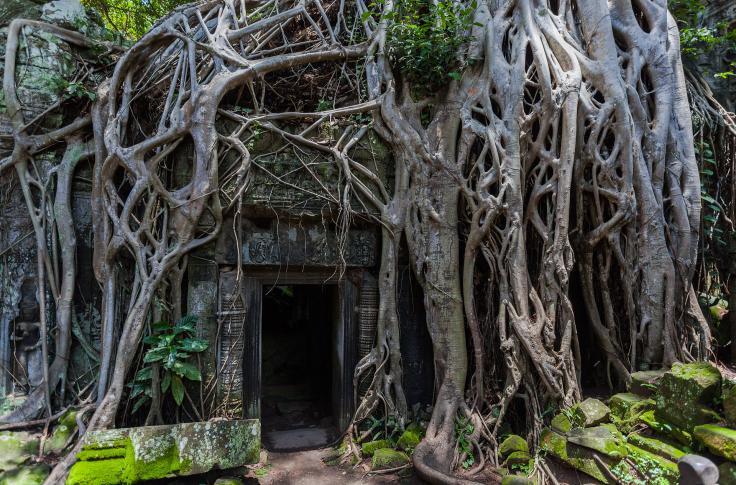 Tetrameles nudiflora im Tempel Ta Phrom