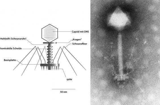 E. coli-T2-Bakteriophage; Kapsid axial geschnitten (l.), TEM-Aufnahme Synechococcus-Phage S-PM2 (r.)