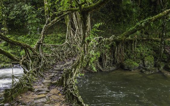Lebende Brücke im nordostindischen Bundesstaat Meghalaya