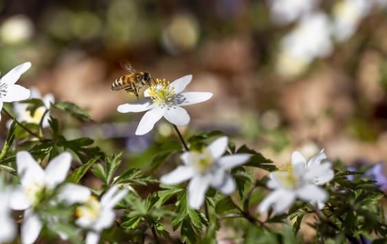Bienen an einer Buschwindröschenblüte