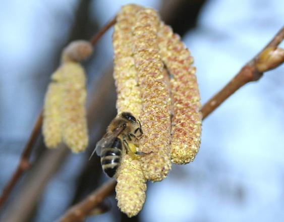 Biene an Haselnusskätzchen