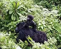 © Dian Fossey Gorilla Fund International. Weiblicher Berggorilla mit Kind..jpeg