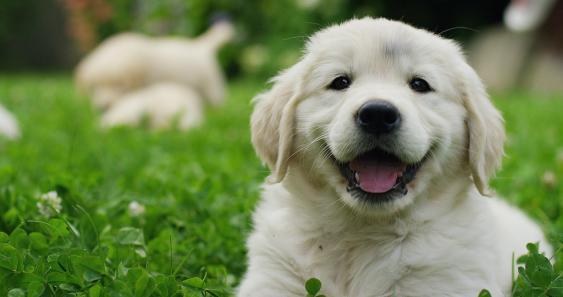 Hundewelpe, Golden Retriever