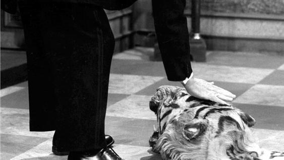 Butler James streichelt den Kopf des anstößigen Tiigerfells