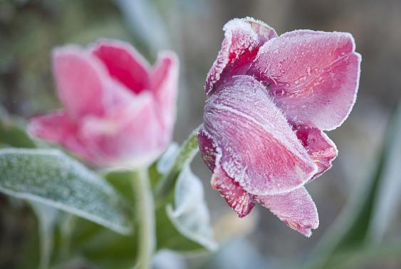 Überfrorene Tulpenblüten