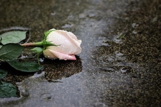 Am Boden liegende Rose