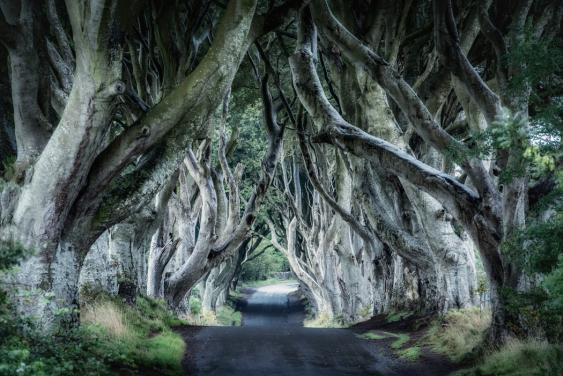 """Buchenallee """"Dark Hedges"""" im nordirischen County Antrim."""