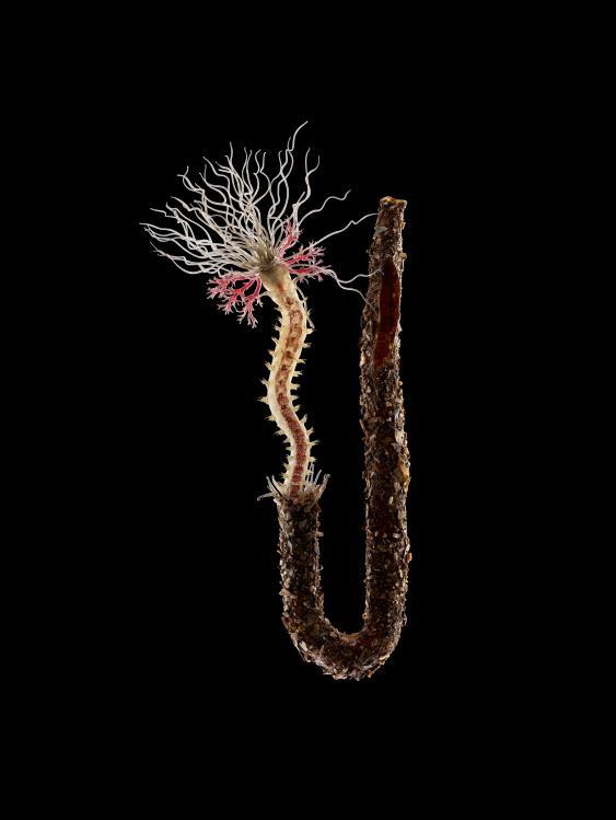Spaghettiwurm (Terebella conchilega)
