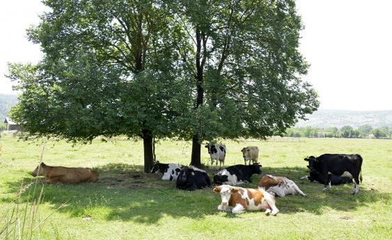 Im Schatten eines Baumes ruhende Rinder