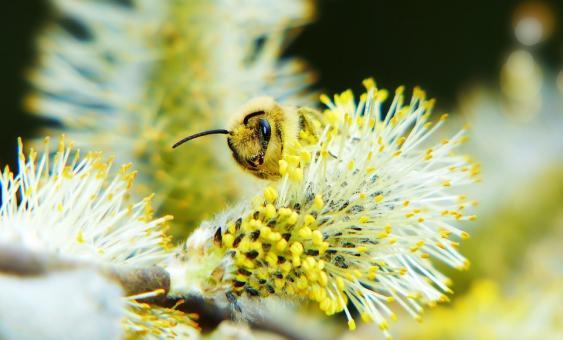 Bienen an Weidenkätzchen
