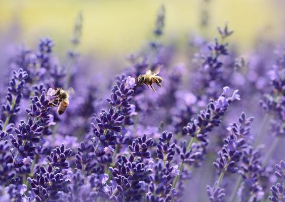 Bienen an Lavendelblüten