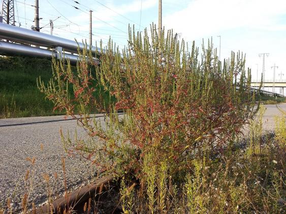 Ambrosia artemisiifolia am Bahnhof Wien-Floridsdorf