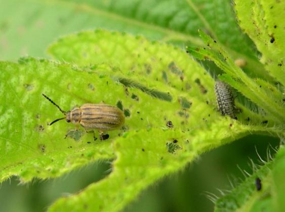 Imago und Larve von Ophraella communa auf Beifußblättrigem Traubenkraut