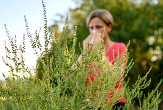 Frau hinter Beifußblättrigem Traubenkraut