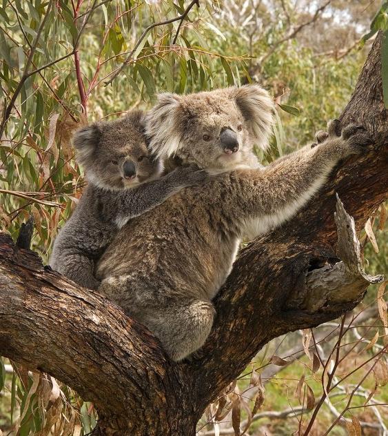 Koala mit Jungtier auf dem Rücken