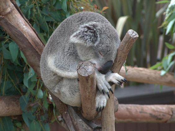 Koala, in einer Astgabekl ruhend